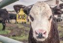 A cantora Anitta, as vacas, o efeito estufa e o equilíbrio alimentar
